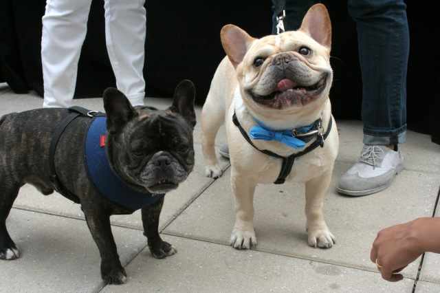 French Bulldog New York